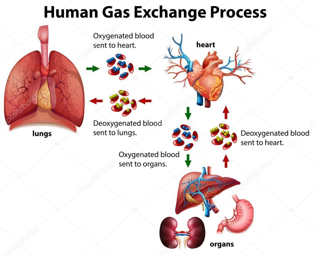 Diagrama de processo de troca de gs humana vetor de stock ilustrao de diagrama do gs humano troca processo vetor por blueringmedia ccuart Gallery