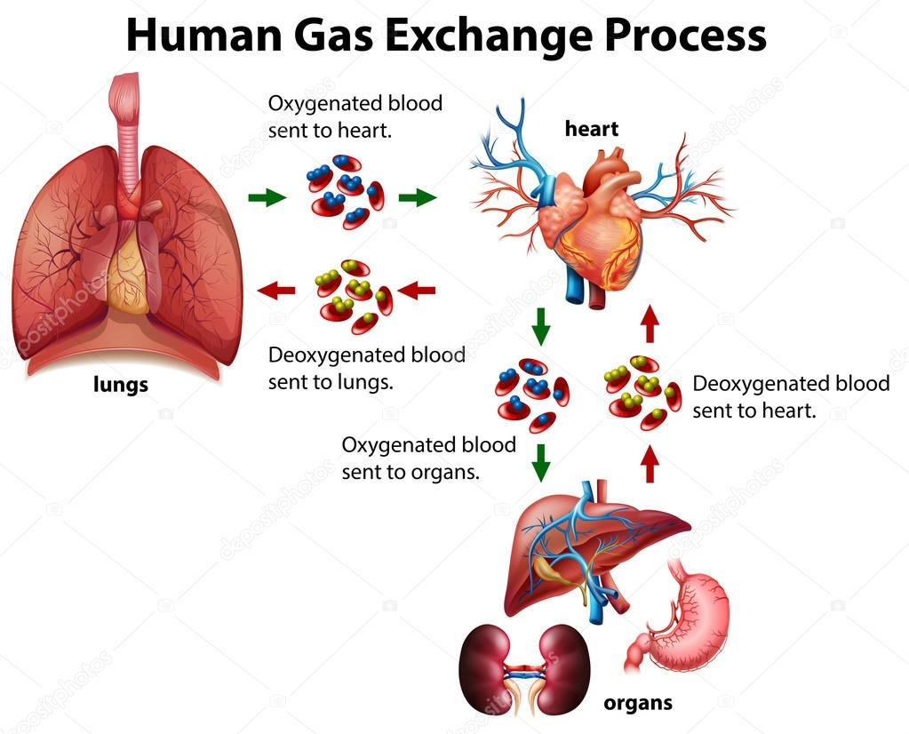Human gas exchange process diagram stock vector blueringmedia human gas exchange process diagram stock vector ccuart Choice Image