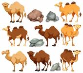 Photo Camel in different poses