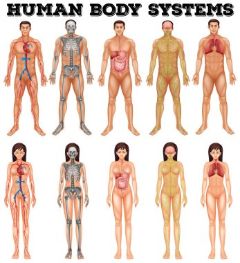 Body system of man and woman