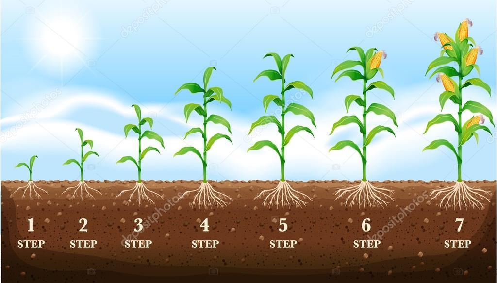 Cultivo de ma z en el suelo archivo im genes vectoriales for Sembrar maiz y frijol juntos