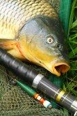 Chytání ryb. Kapr obecný