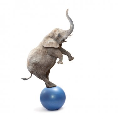 African elephant balancing on a blue ball.