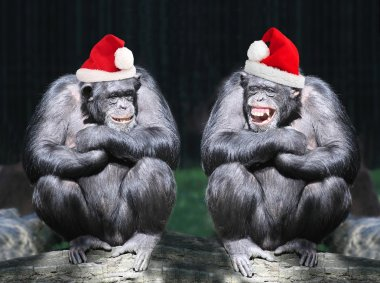 Two chimpanzees have a fun on christmas party