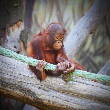 Young one of The Bornean orangutan