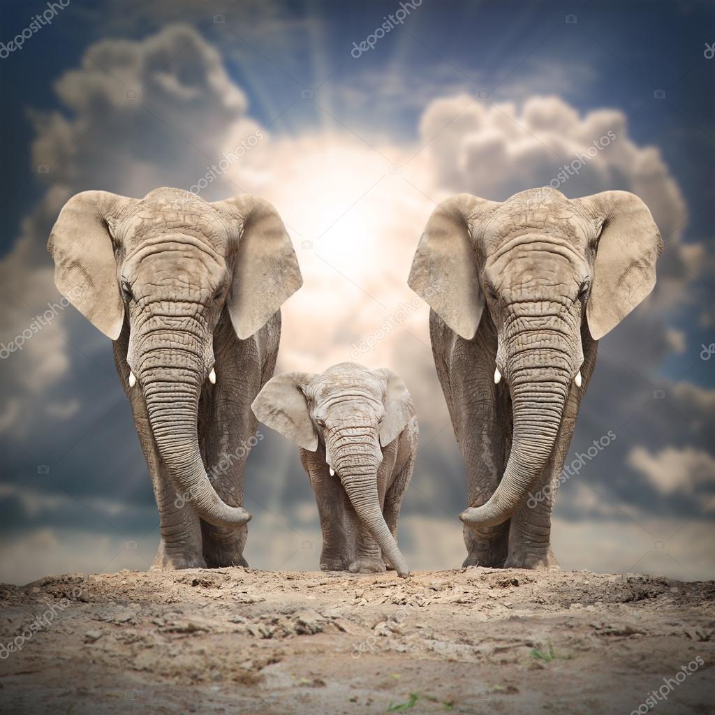 African elephant (Loxodonta africana) family