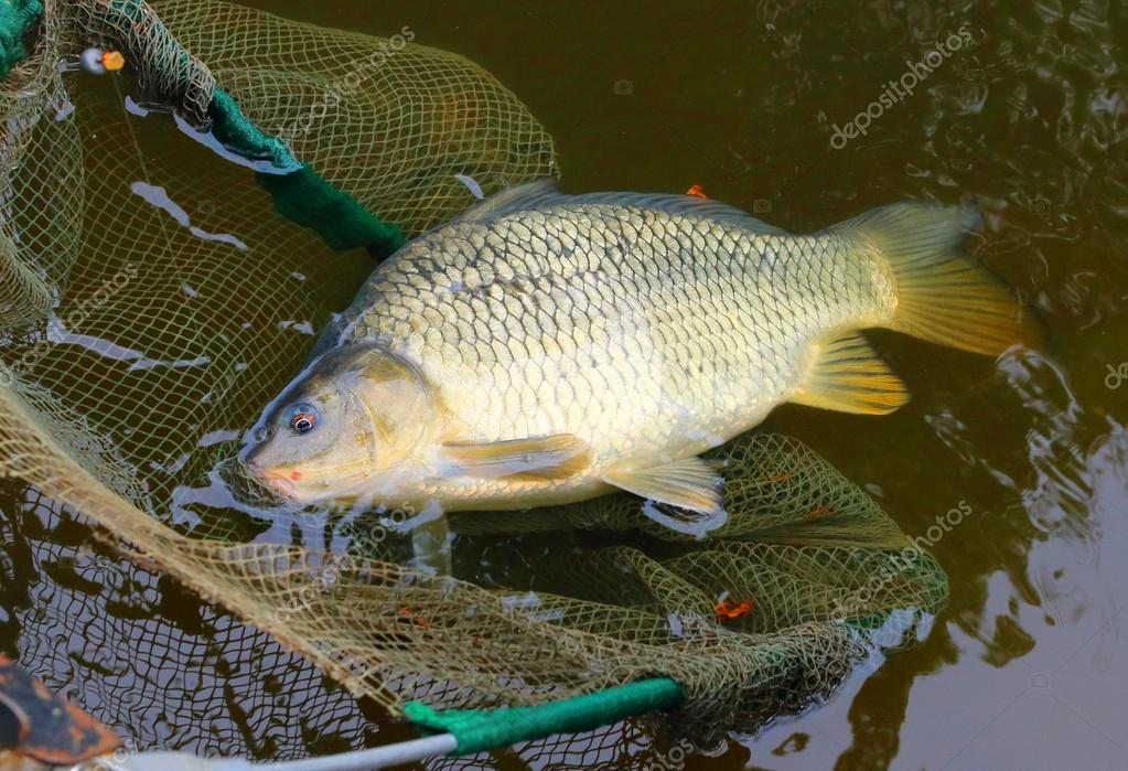Fishing catch, The Common Carp