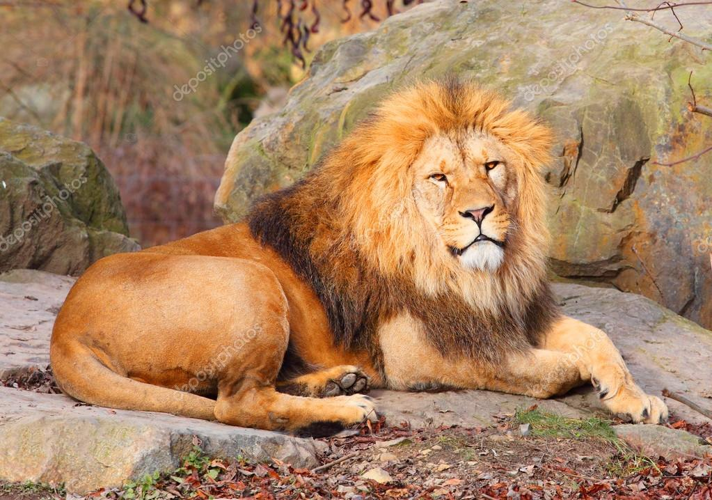 The African Lion, male