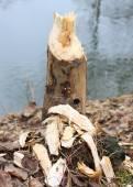 Fotografie Strom přijatá Bobr