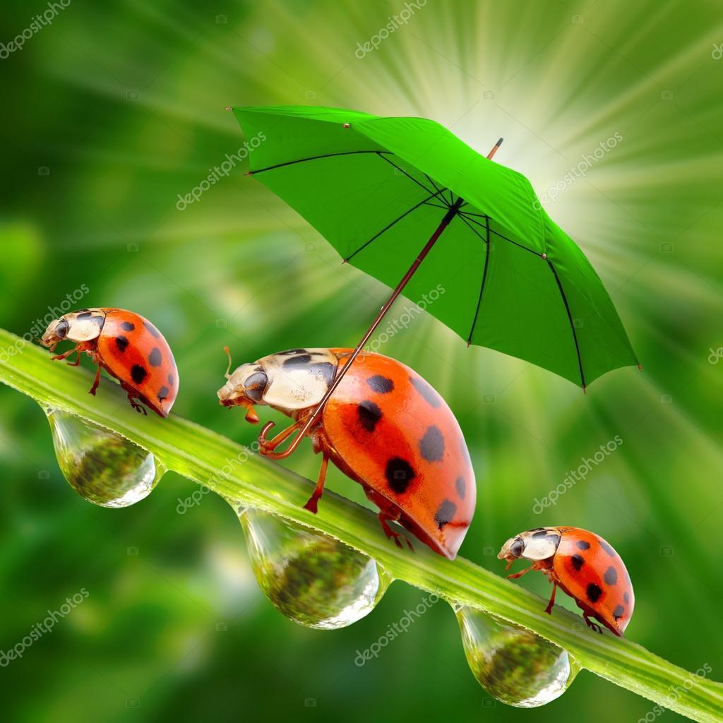 Weinig Lieveheersbeestjes Met Paraplu