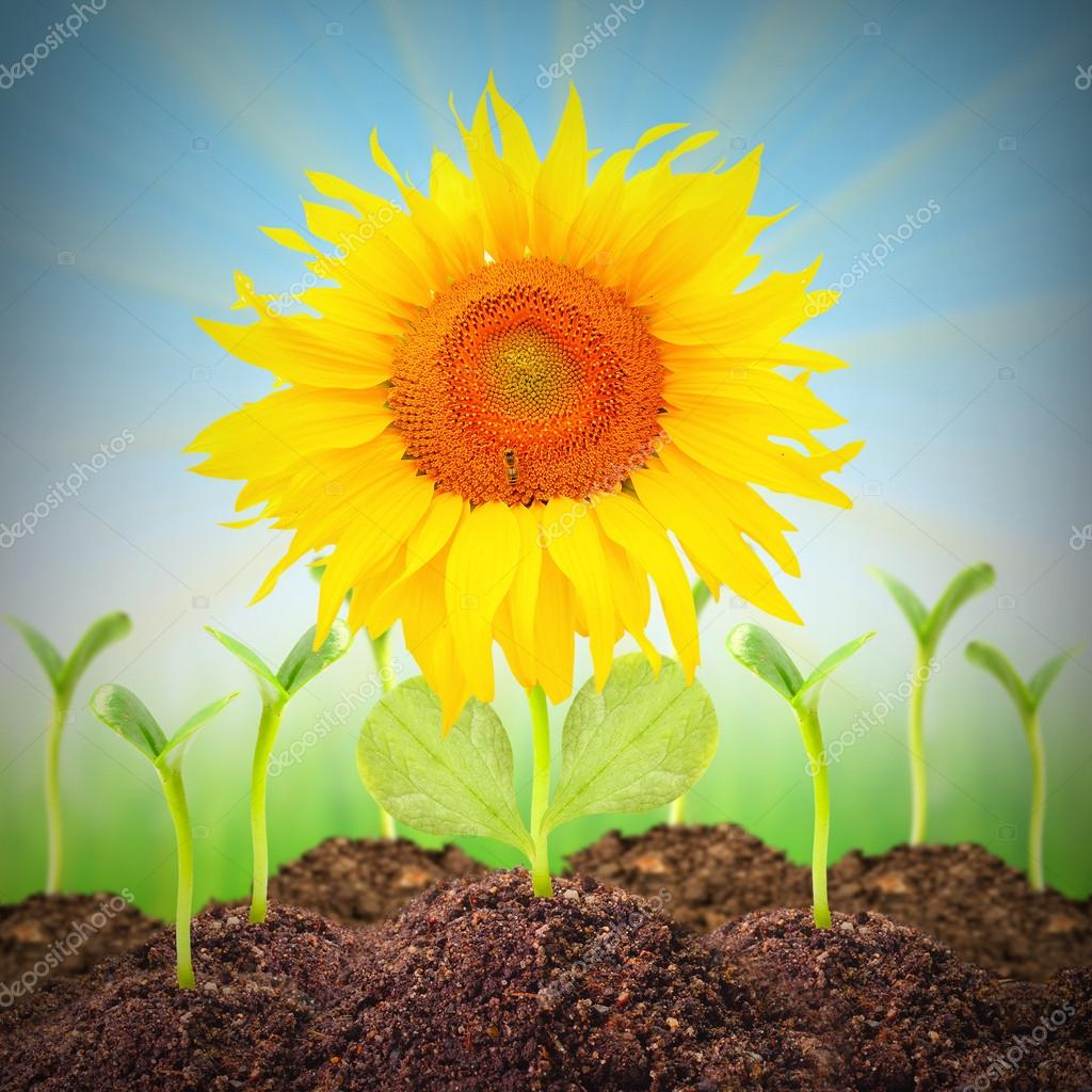 The Sunflower growing