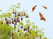 Fotografie fliegender Fuchs über einem Dschungel.