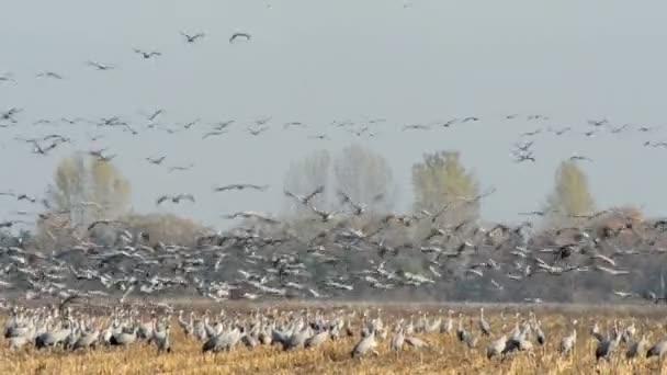 bičovat společné jeřábu během podzimní migrace ptáků na poli v Havelland
