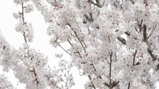 bílých třešní. jarní