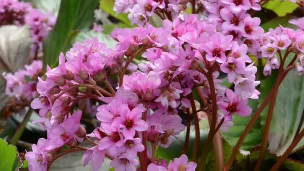Bergénie květina v jarní. květ