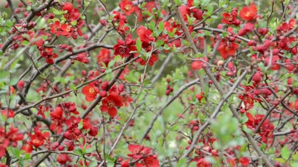 Springtime. red Chaenomeles bush in blossom.