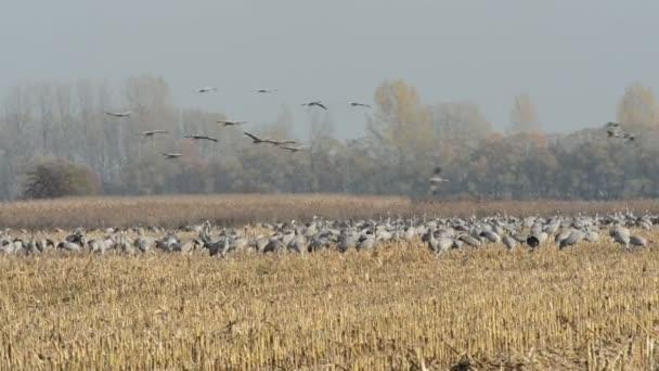 bičovat společné jeřábu během podzimní migrace ptáků odpočívá na poli