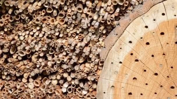 Wildbienen (Solitärbienen) in einem Insektenhaus. Männchen fliegen herum und warten auf die Weibchen.