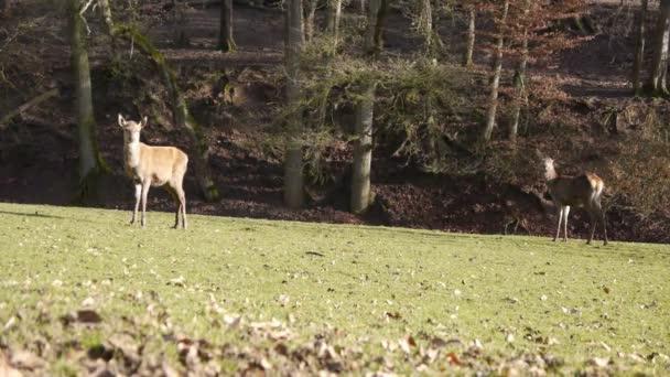 samice jelena v eifel, Německo