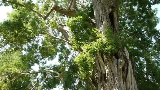Gigantic Sequoia tree