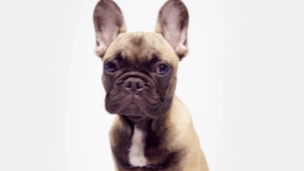 Egy aranyos francia bulldog kiskutya.