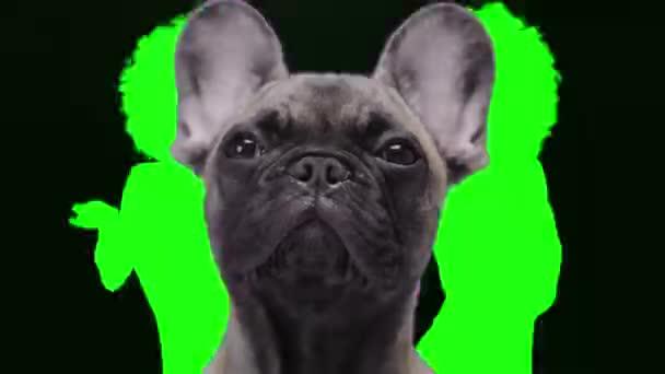 Bulldogge mit Schattentänzern im Hintergrund