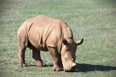 Photo baby rhino on grassland