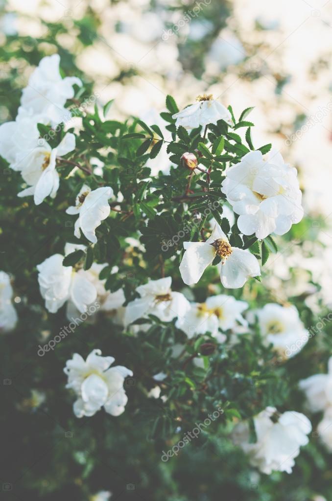 White wild roses bush with puffy flowers stock photo white wild roses bush with puffy flowers stock photo mightylinksfo
