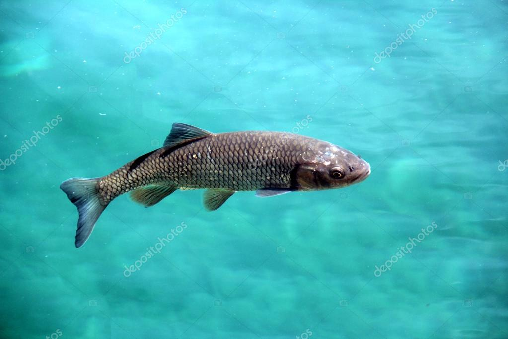 Big fish crystal clear water in plitvice lakes stock for Big fish script