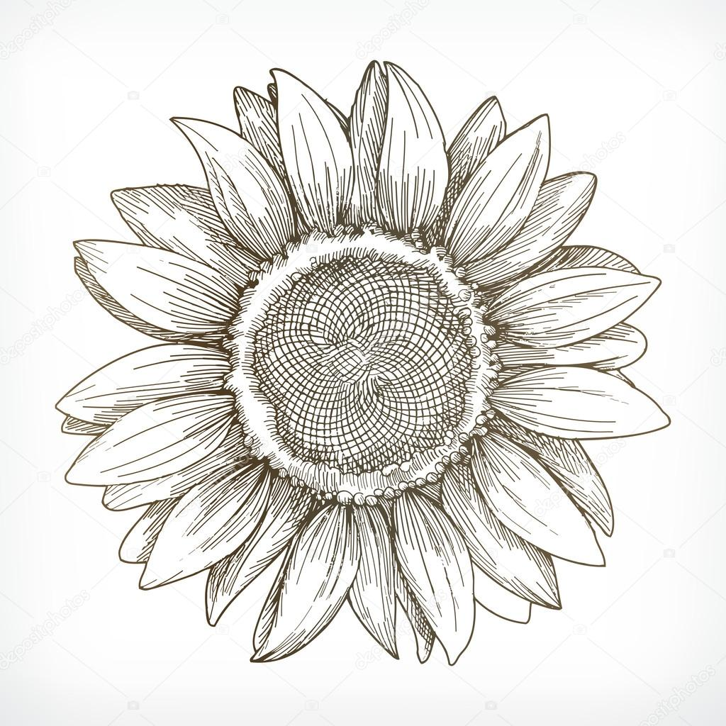 Stock Illustration Sunflower Sketch Hand Drawing on Tattoo Designs Free Rose