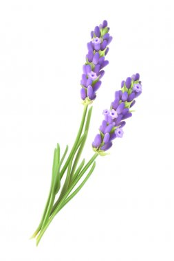 Lavender flowers, vector illustration