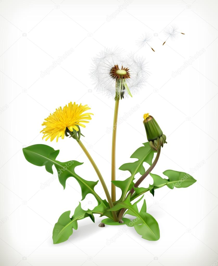 Dandelion, summer flowers