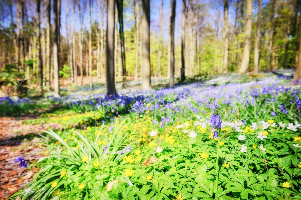 Spring forest covered with bluebells