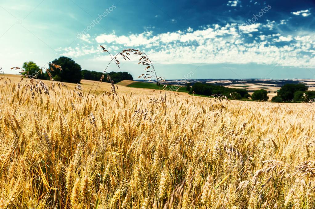 Golden wheat field