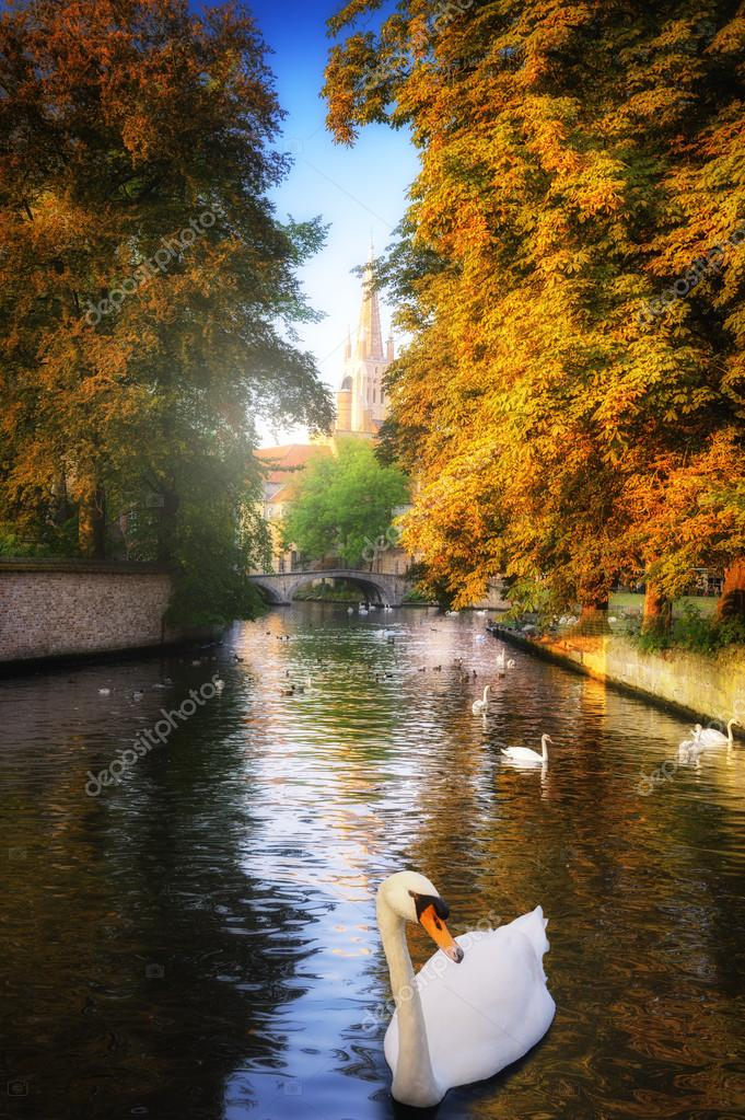 White swans in canal. Bruges