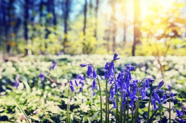 Beautiful bluebells in spring forest stock vector