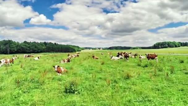 zelené pole s pasoucí se krávy