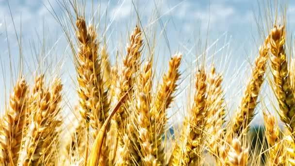 golden wheat field on summer day
