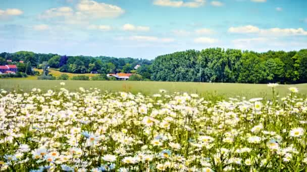 landscape with wild daisies