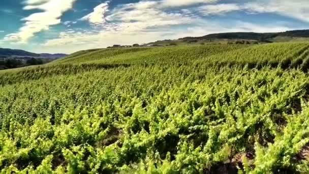 vinice na slunečný letní den