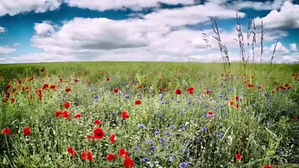 Poppies and cornflowers at field