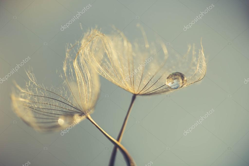 Abstract dandelion flower background, extreme closeup. Big dandelion on natural background