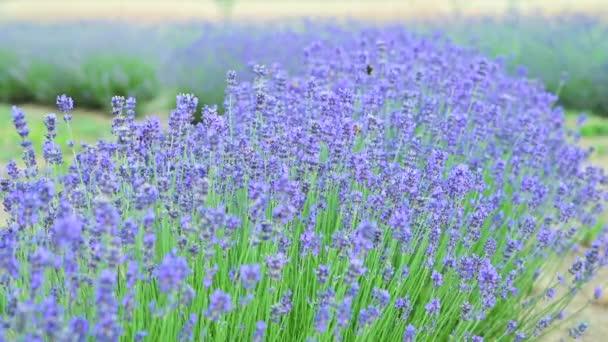 Akciové video Levandulové pole v Provence, Francie. Kvetoucí fialové voňavé levandulové květiny. Rostoucí levandule kolébající se ve větru nad západem slunce, sklizeň. Zavřít