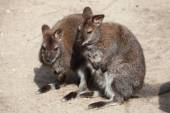 Fotografia Red-necked wallaby (Macropus rufogriseus)