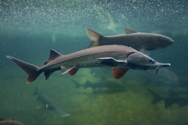 Siberian sturgeon (Acipenser baerii).