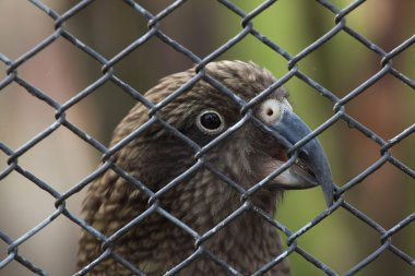 Kea (Nestor notabilis).