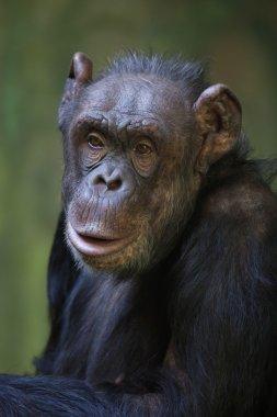 Common chimpanzee (Pan troglodytes).