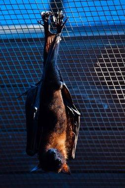 Lyle's flying fox (Pteropus lylei).