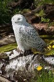 Photo Snowy owl (Bubo scandiacus)