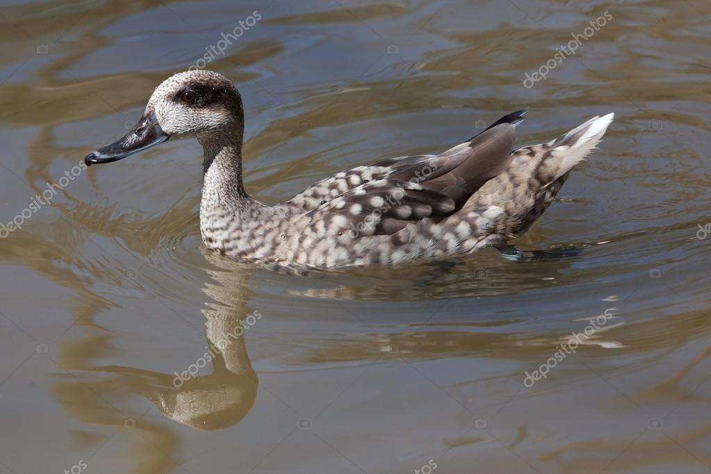 Marbled teal duck